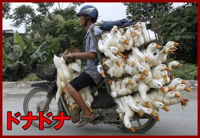 Man transports ducks on a motorcycle to a market in Nam Ha province