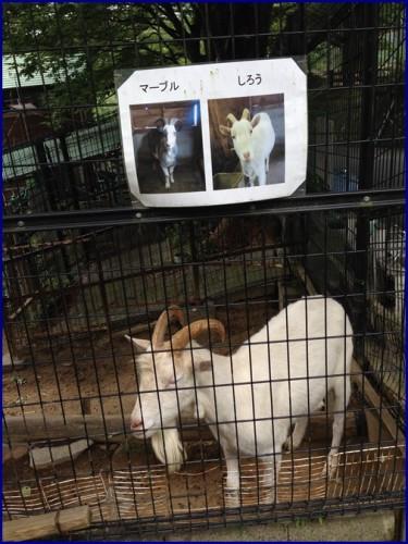 愛宕山のしろう山羊